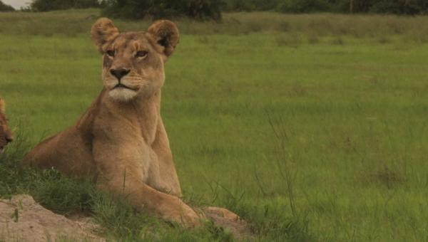 ��������� ���� / The Last Lions (2011)